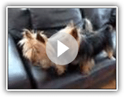 Australian silky terrier playing