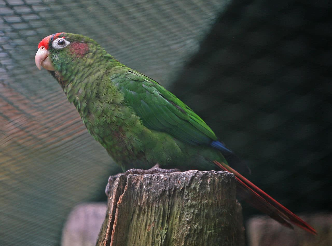Red-eared_Parakeet