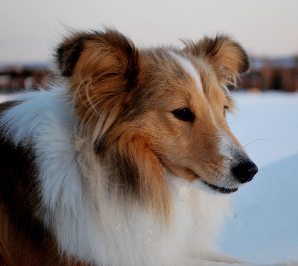 Criadores de Shetland Sheepdog o Pastor de las Islas Shetland en España