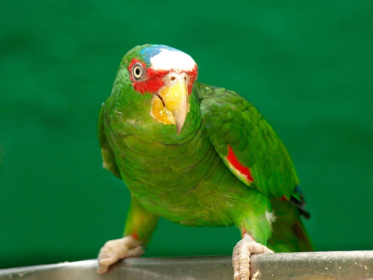 Amazona Frentialba