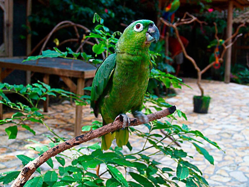 Amazona harinosa norteña