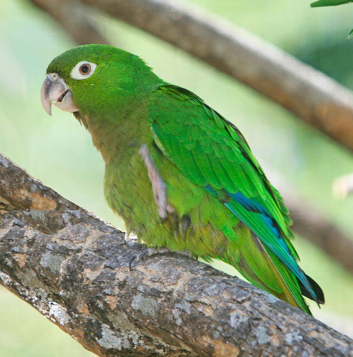 Aratinga jamaicana