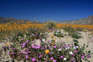 Borrego Springs Wildflowers
