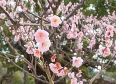 Vakre plommetrær i blomst.