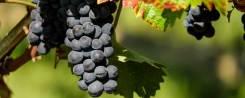 Cabernet Franc szőlő