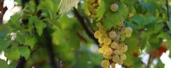 Sauvignon Blanc szőlő