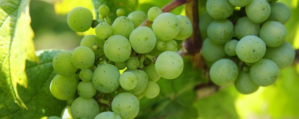 Zöld Veltelini szőlő