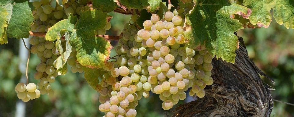 Cserszegi Fűszeres szőlő