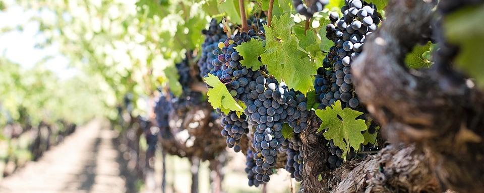 Merlot szőlő