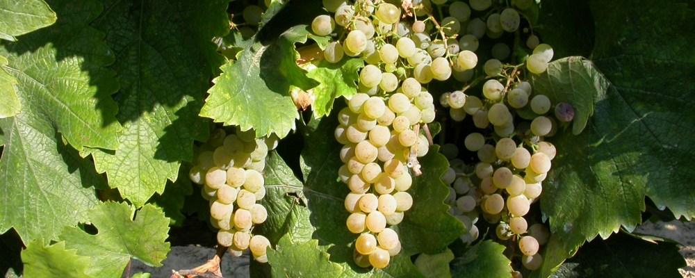 Kéknyelű szőlő