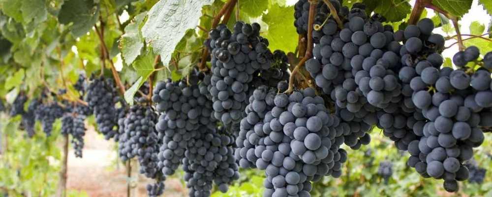 Malbec szőlő