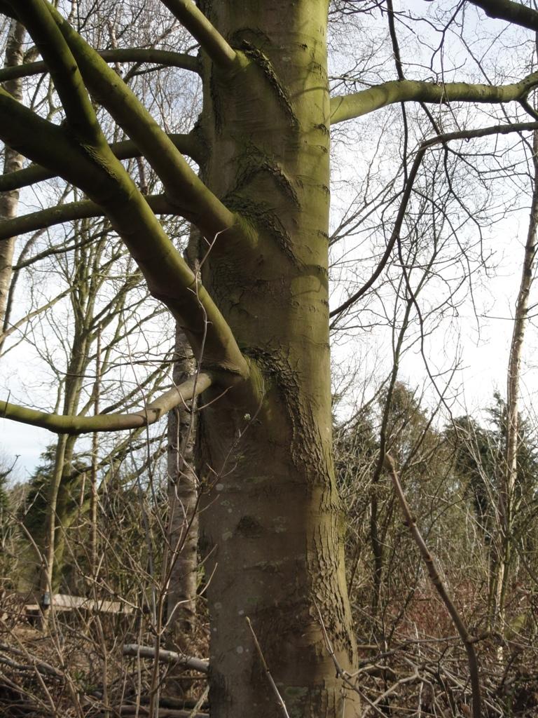 Esdoorn, gewone en noorse   de groene ruimte van Drenthe