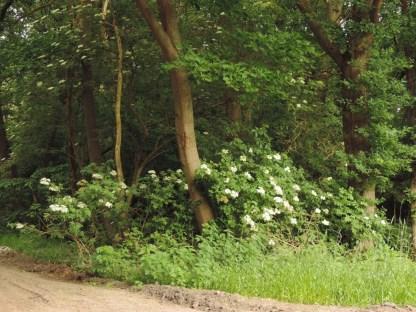 vlier in het bos (1)