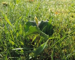 beukenzaailing in een gras vegetatie