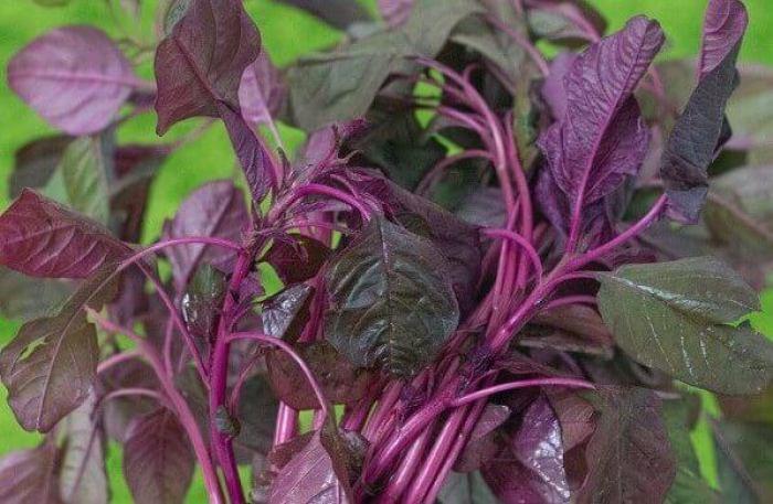 Nama jenis sayur sayuran bayam merah