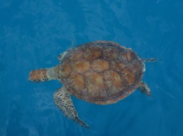 Green or Loggerhead?