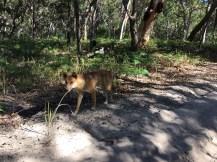 We saw a dingo!