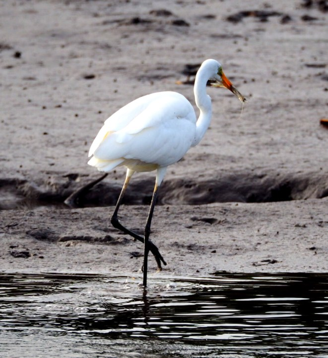 An egret at Hinchinbrook at feeding time. See the prawn in its mouth.