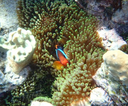 My favourite ... the clownfish ... hiding in the anemone.