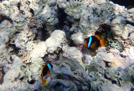 More clownfish!