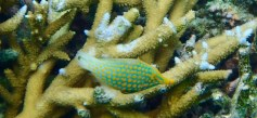 Another strange looking fish ... a beaked leatherjacket ... thank you Gary!