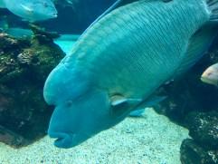 A humphead wrasse at the aquarium.