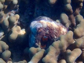 An octopus in hiding