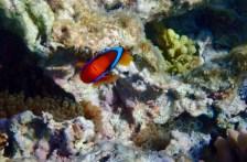 ... or maybe a cinnamon clownfish?