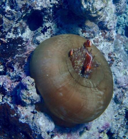 My prize pics ... pink skunk clownfish ...