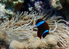 I can't seem to ID this clownfish ... can anyone help me??