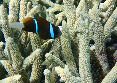 One of the many different types of anemone fish