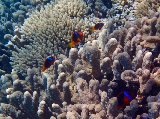 This coral housed so many clownfish