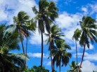 The palms of the South Pacific ... Vanuatu.