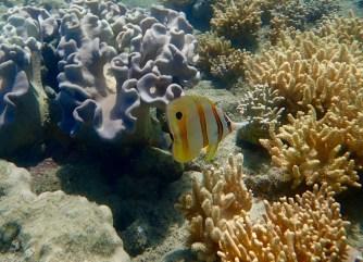 A Beaked Coralfish