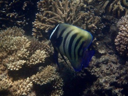 Now these Six-banded Angelfish are hard to snap. So many misses! Not super clear but I finally got one!