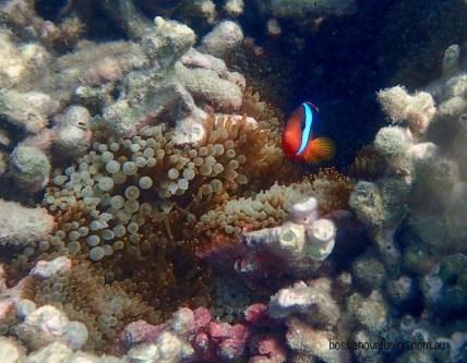 At last some Anemonefish ... Black Anemonefish.