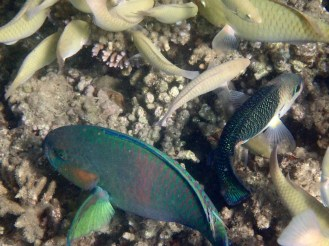 Always good to see the Parrotfish chomping up the coral. They make for a healthy reef.