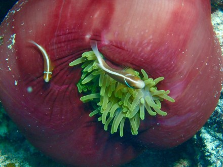 This red anemone with the White-maned Anemonefish was a real find.
