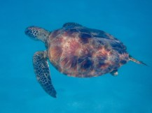Snorkeling with the turtles is always a treat.