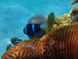 A Two-banded Anemone fish.
