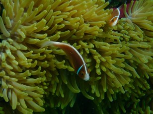 Another anemone with the White-maned Anemonfish, again with two.
