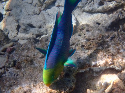 I've chased these vibrant Parrotfish around many times, just wanting a pic of them in action chomping the coral. Finally I got one!