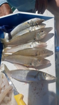 My 7 whiting ... yum!