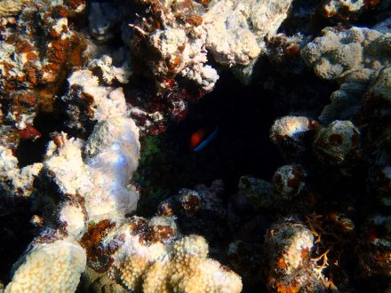 This hiding behaviour is the norm for Anenomefish. They retreat very quickly to their anemone safety.