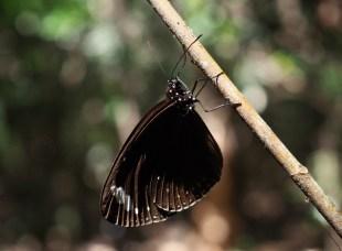 Maggie Butterfly walk ...a Purple Crow Butterfly