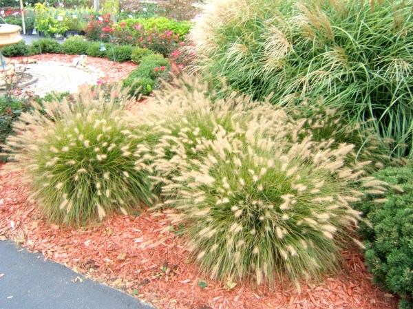 growing ornamental grass