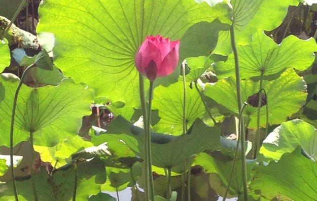 A_Lotus_Flower
