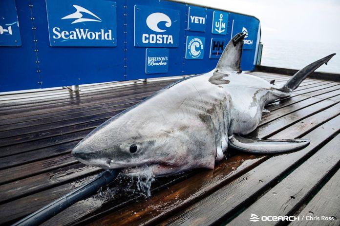Freya, the 883-pound great white shark, is spotted in Block Island Sound  and near Martha's Vineyard - The Boston Globe