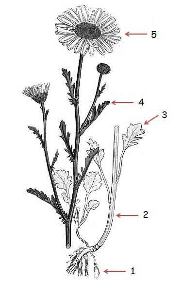 Daisy Flower Parts : daisy, flower, parts, Chrysanthemum, Leucanthemum, (oxeye, Daisy), Botanical, Online