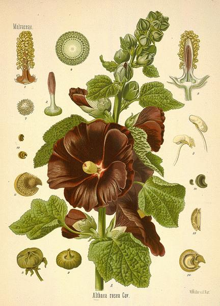 A Modern Herbal  Hollyhock